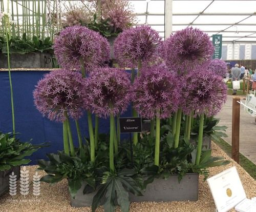 Easy Alliums For A Long Season Of Colour Allium Flowers Plant Design Garden Design