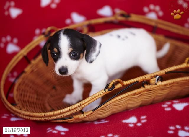 Haley Chiweenie Puppy For Sale In Christiana Pa Chiweenie
