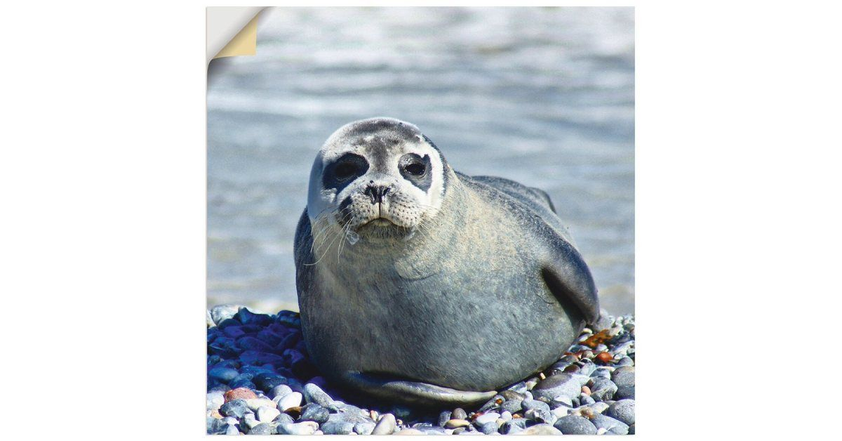 Photo of Wall film »Kattobello: Seal on the beach in Helgoland«