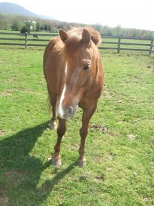 Meet Charlie Brown! He is a kind Welsh Pony who gets along well with others!