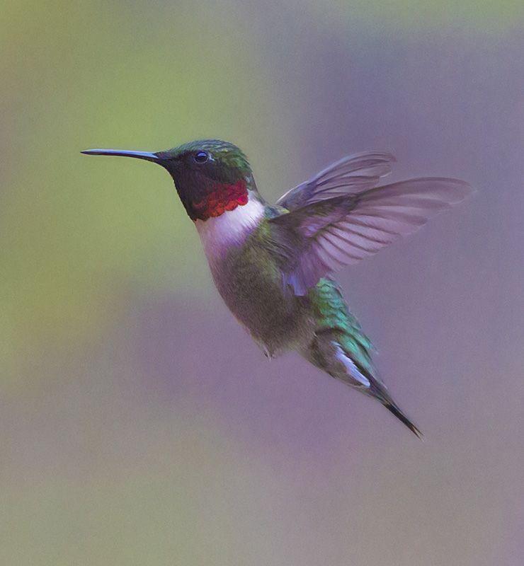 Ruby Throated Hummingbird - Roger Dullinger