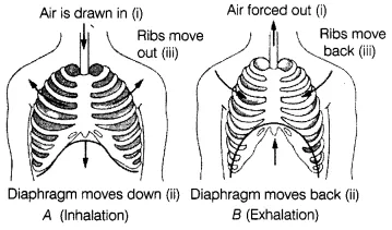 Respiration in Organisms Class 7 Extra Questions Science