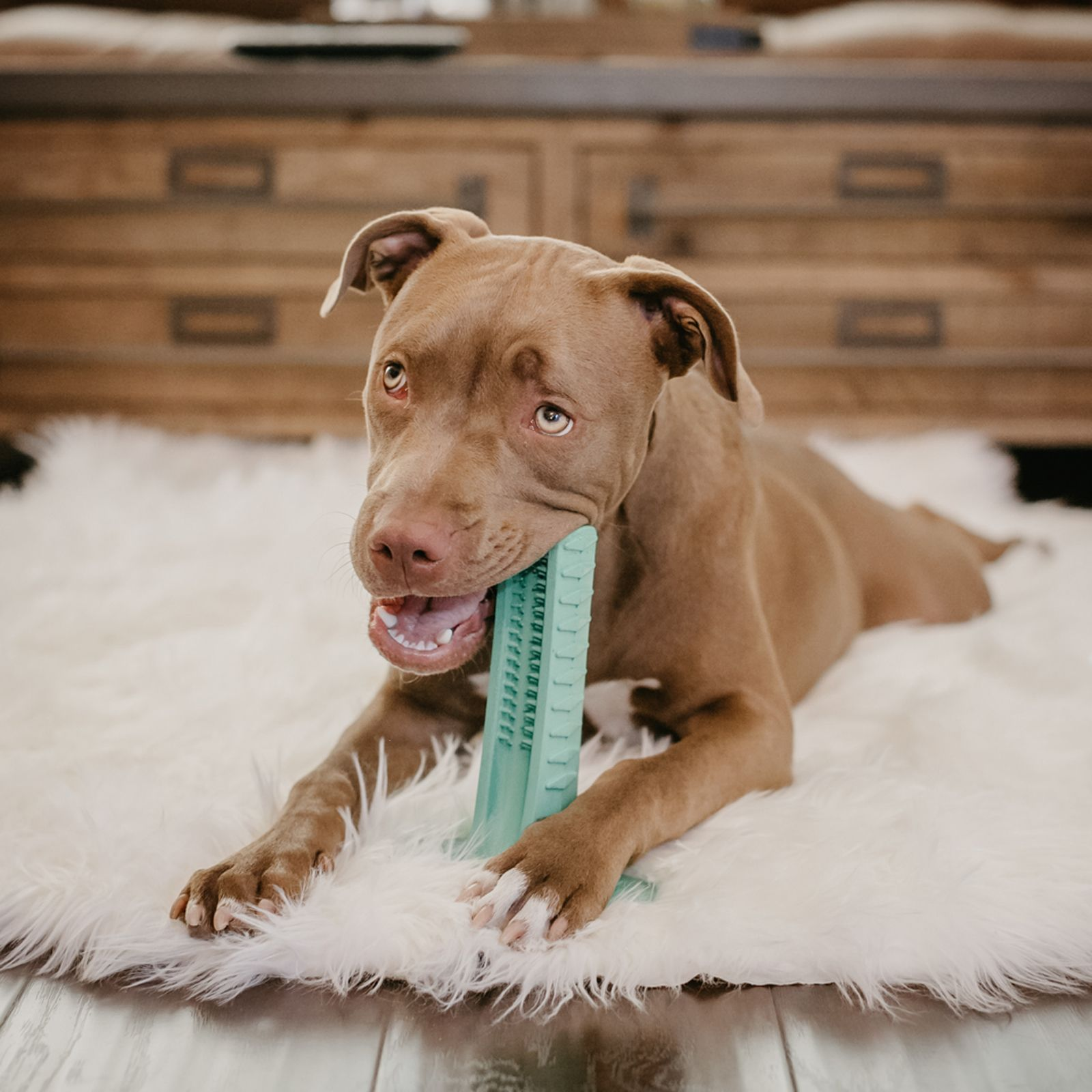 Bristly lets dogs brush their own teeth dog brushing
