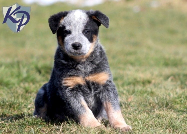 Puppy Finder Find Buy A Dog Today By Using Our Petfinder Australian Cattle Dog Puppy Australian Cattle Dog Puppy Finder