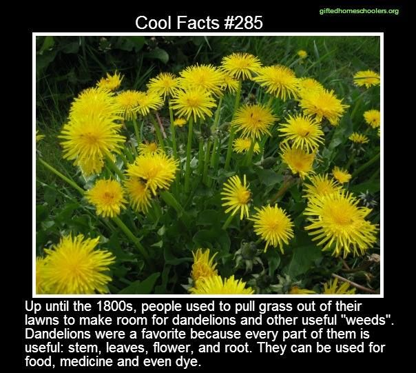 I 3 Dandelions They Re Also Great For Improving The Soil And Breaking Up Clay Fun Facts Random Useless Facts Weird Facts