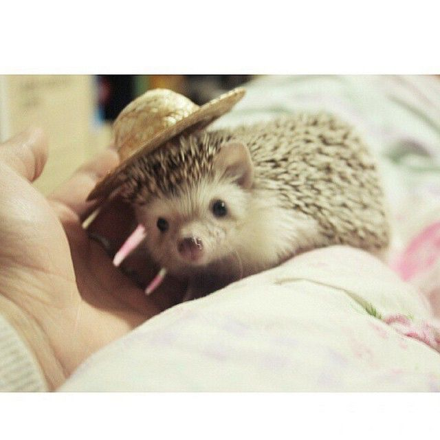 Model: Doppi  Follow this hedgie @doppeun ❤️ #hedgie #hedgehog #hedgehogs #hedgehogswearinghats #cute #pet #pets