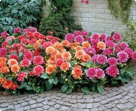 Border Dahlia This Collection Contains The Following Three Varieties Berliner Kleene Margareth Kleene And Bluesett With Images Dahlias Garden Flower Garden Plants
