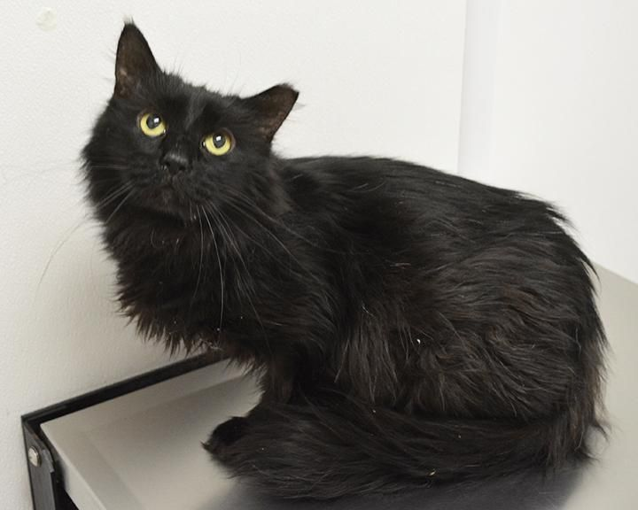 Meet Jinx An Adoptable Domestic Medium Hair Black Looking For A Forever Home Cat Domestic Medium Hair Bla Medium Hair Styles Sangamon County Animal Control