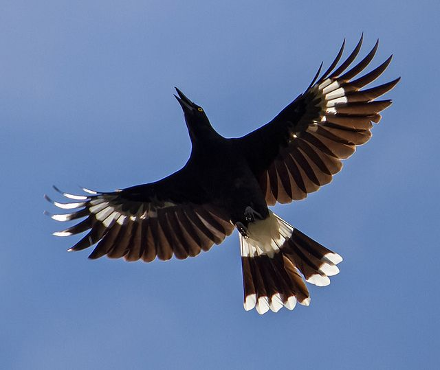 Currawong in Flight by TheGreatContini, via Flickr