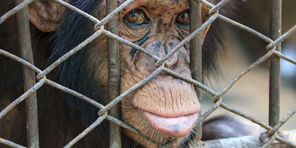Demand NO purchases of monkeys from Primate Products, Inc.