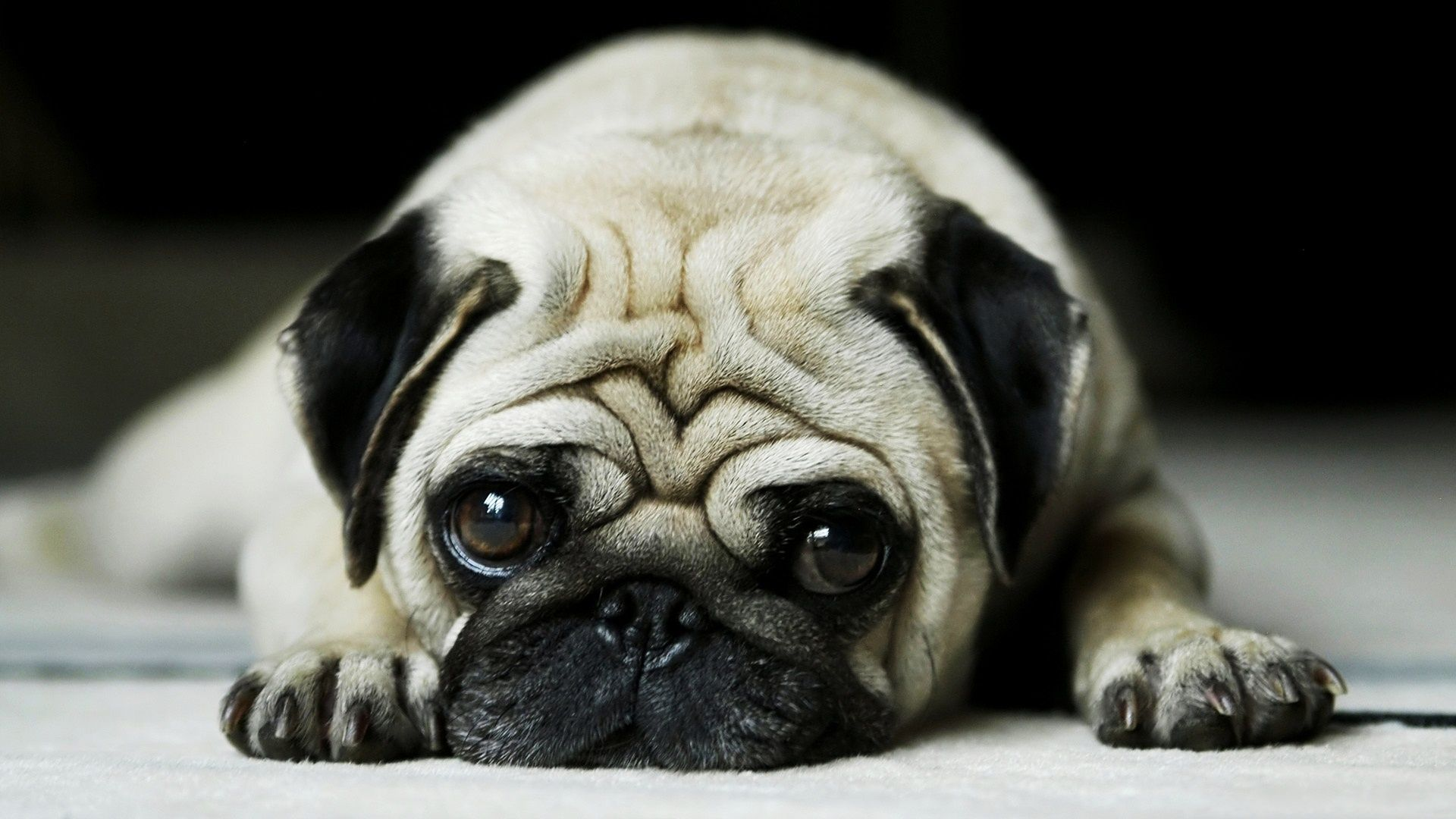 Pug Animal Wallpaper Desktop Backgrounds For Free Hd Wall Art