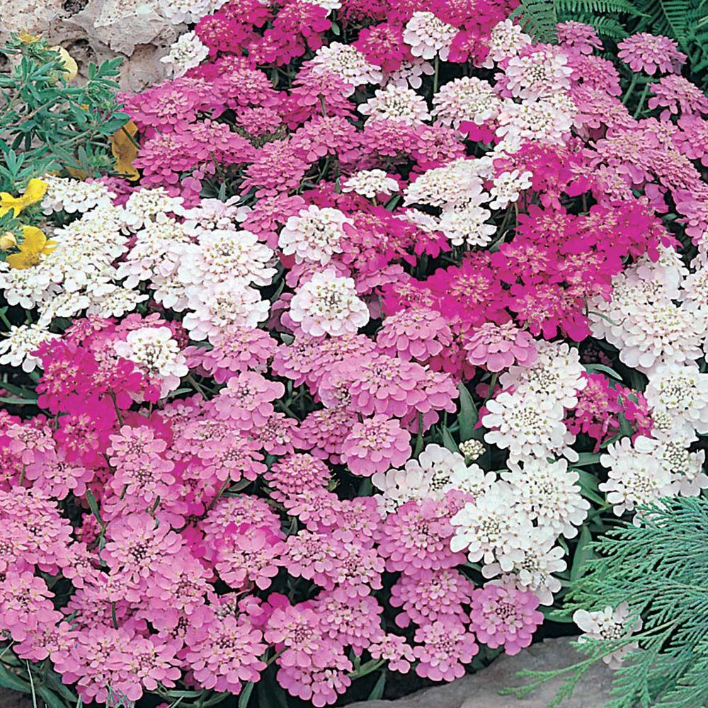 Wilko Flower Garden Fairy Mixed Candytuft | Bedding Plant | | Wilko ...