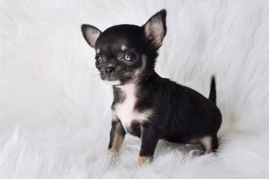 Sleek Teacup Chihuahua Puppies For Sale Chihuahua Puppy Is A Small Sized Breed Of Dog Sometimes Chihuahua Puppies For Sale Chihuahua Puppies Puppies For Sale