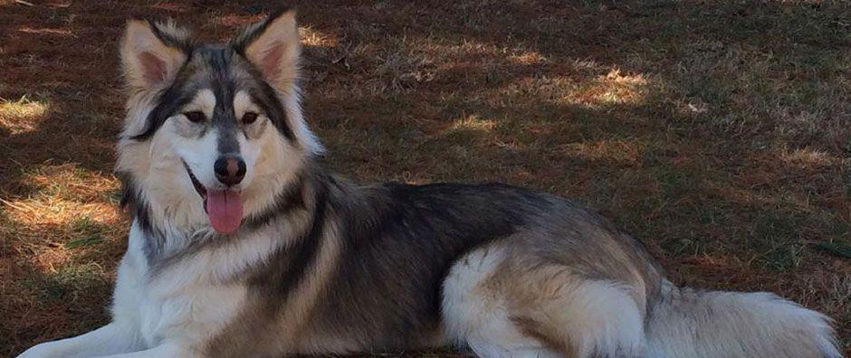 Indiana Losing A Pet Husky Husky Dogs