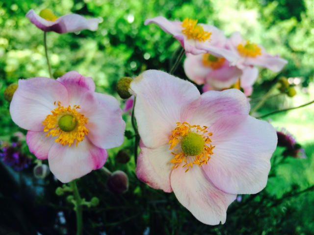 Ode an die Herbstanemone - 11 Gründe, warum sie in keinem Garten fehle #pflegeleichtepflanzen