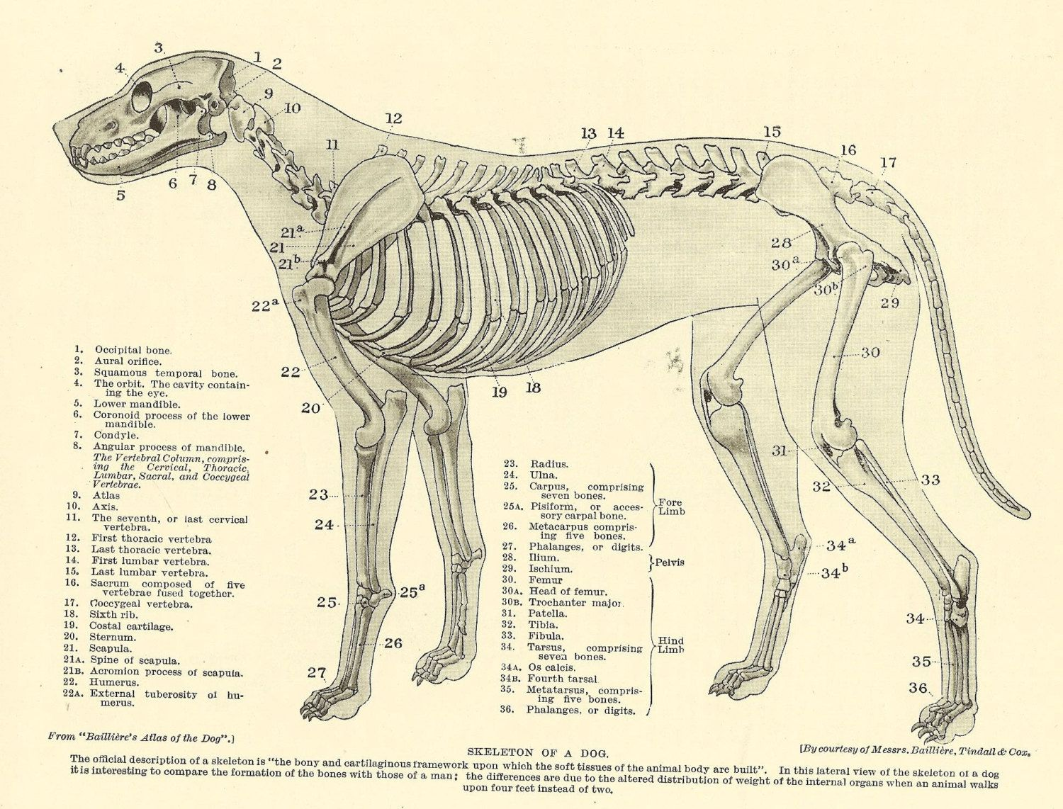 Pin by Lynet Ellerbeck on Pet related | Pinterest | Dog anatomy ...