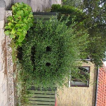Buxus sempervirensBuksbomBuxaceae BuksbomfamilienLIGNOSE