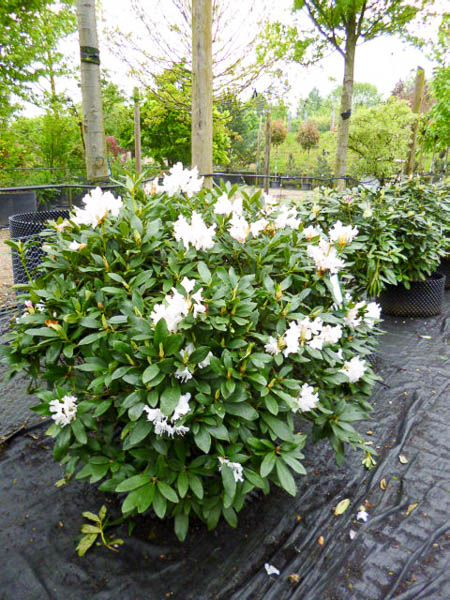 rhododendron 39 cunningham white 39 shade tolerant evergreen. Black Bedroom Furniture Sets. Home Design Ideas