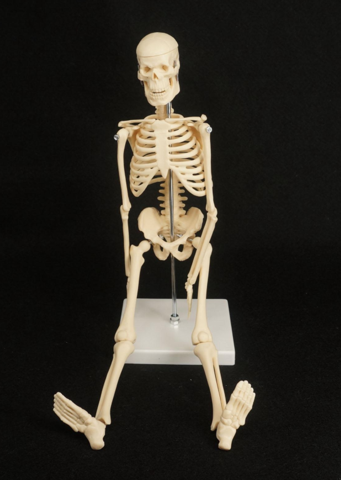 This Anatomical Skeleton Model Makes An Great Study Aid And