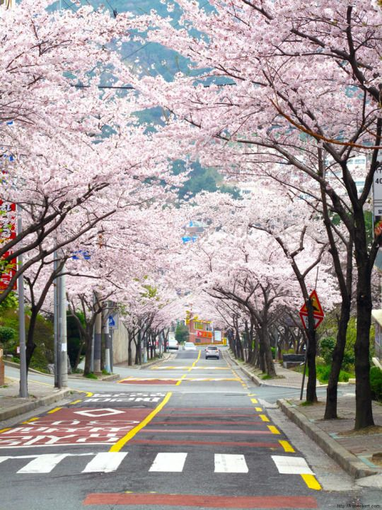 Cherry blossoms on Yeong-Do, Busan, Korea