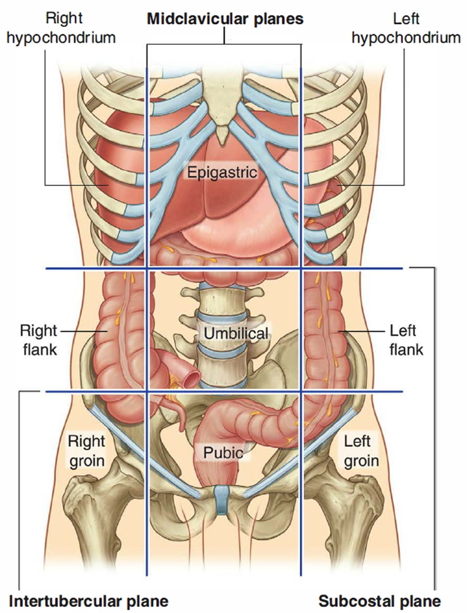 Picture Of Human Appendix Human Anatomy Pictures Human Pictures