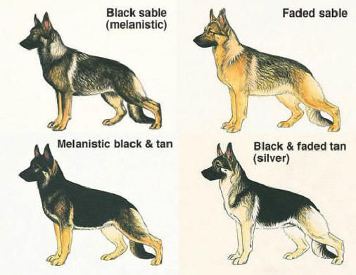 German Shepherd Color Variance German Shepherd Colors German
