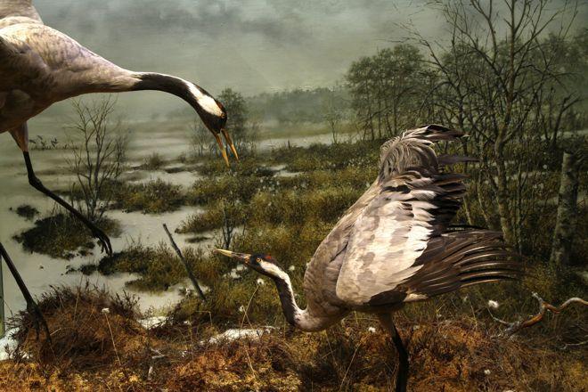 Common cranes in spring. Photo: Marika Turtiainen