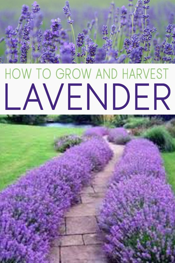 How to Grow Lavender and Propagate it! - Garden Lovin -   18 lavender plants Landscaping ideas