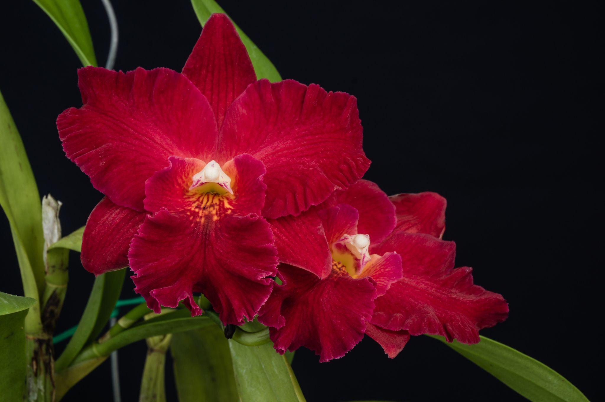 Inter-generic Orchid-hybrid: Hasegawaara Red Stella 'Carmela' - Flickr - Photo Sharing!