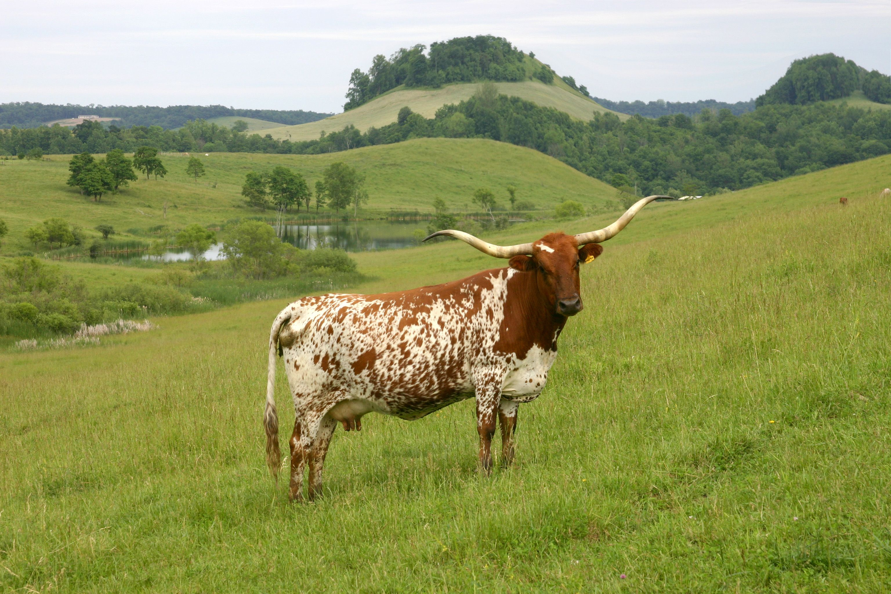 Texas Longhorn Cattle | Click here for High Res of this photo ...