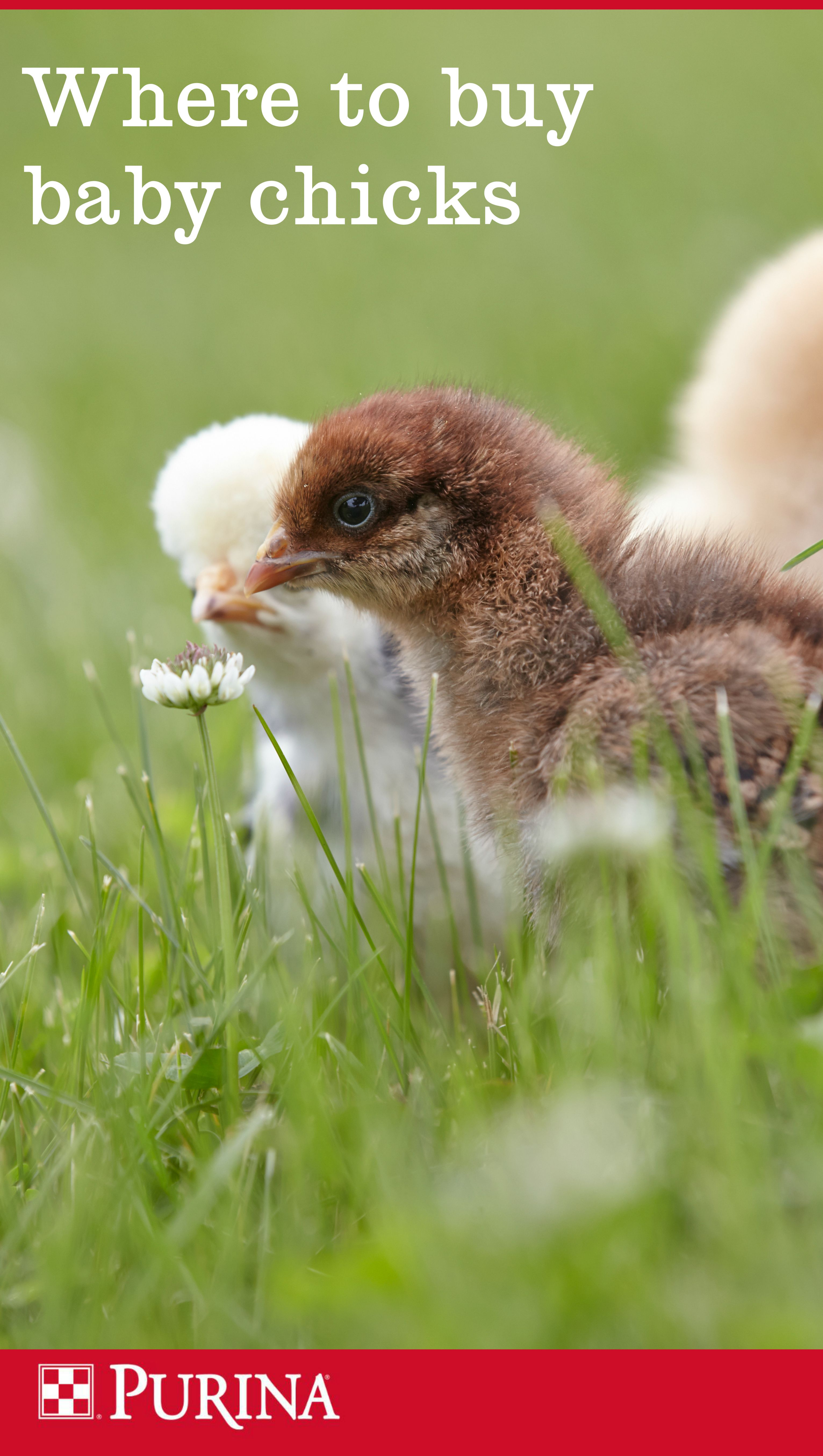 Where can I buy baby chicks? We get this question a lot
