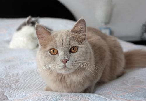 Lilac Cat Color Genetics Rare Cats Cat Colors Cat Fur