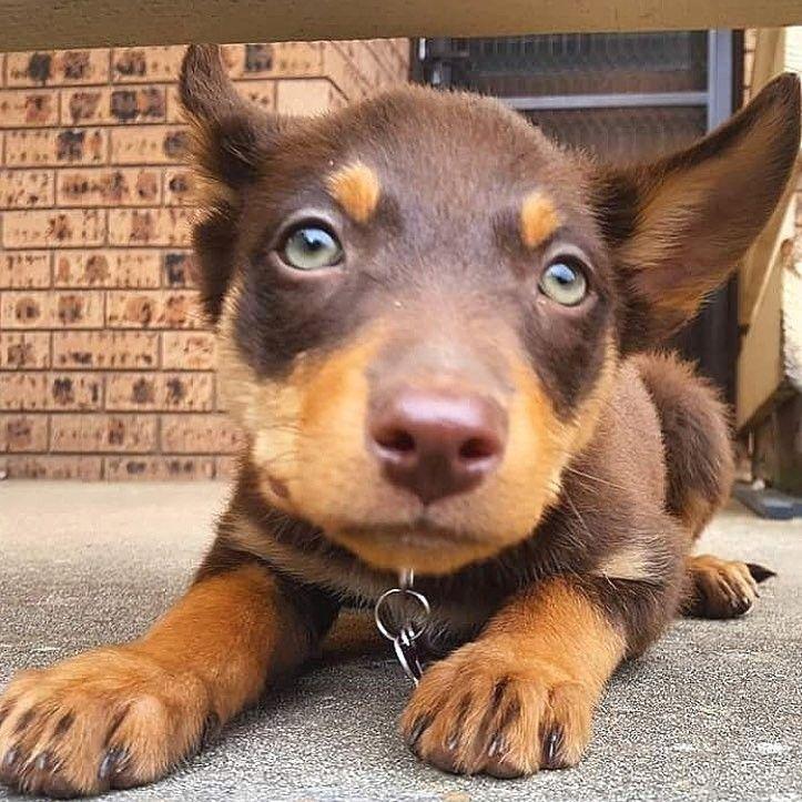 Chocolate kelpie puppy animals puppies i love dogs