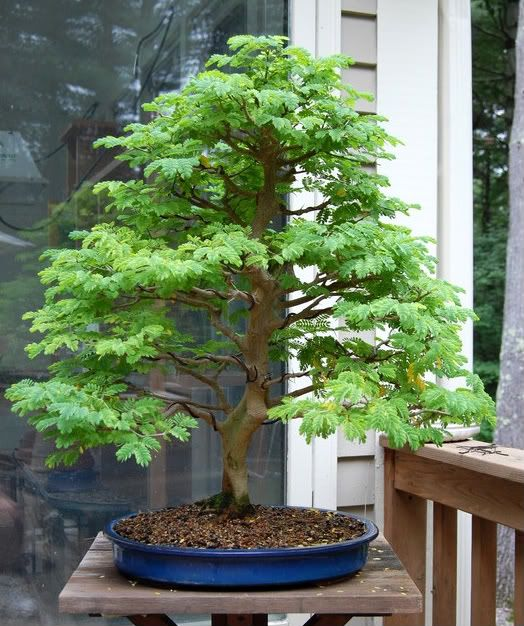 bonsai tree bonsai shohin bonsai penjing pinterest bonsai baum und baum. Black Bedroom Furniture Sets. Home Design Ideas