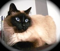 Long Haired Chocolate Siamese Cats Color Points Include