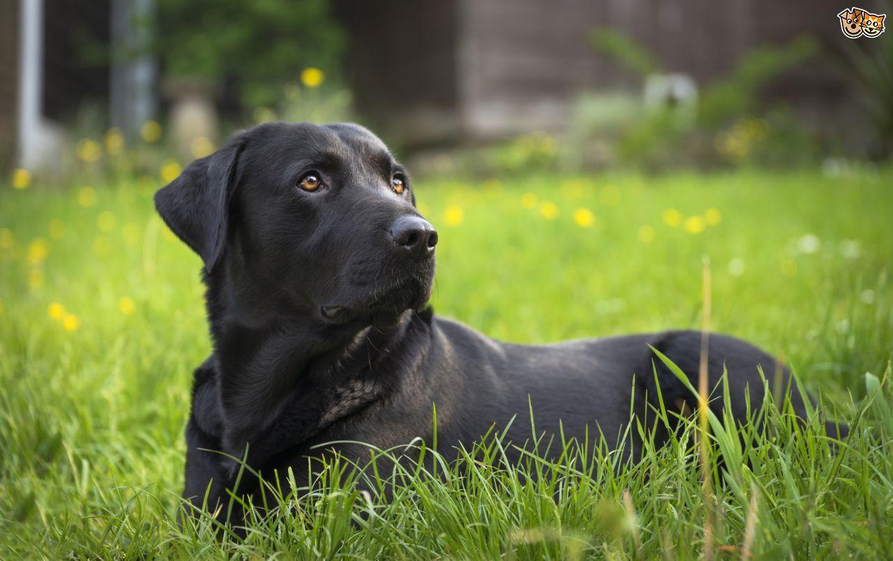 Springador Dog breeds, Labrador retriever, Dogs