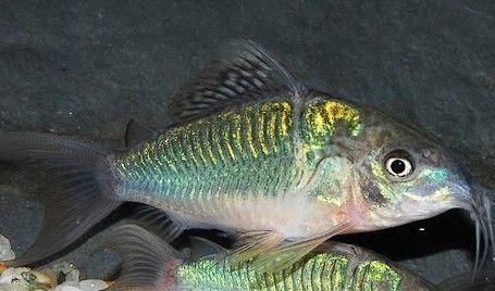 Corydoras Splendens Fish Pet Fish Catfish