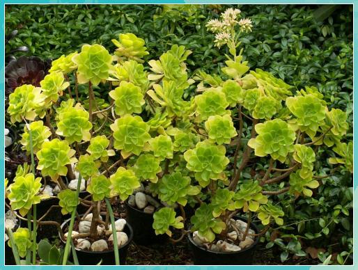 Aeonium Goochiae World Of Succulents Miniatur Garten Glas Aeonium Goochiae World Succulents Kakteen Und Sukkulenten Sukkulenten Pflanzen Garten Anlegen