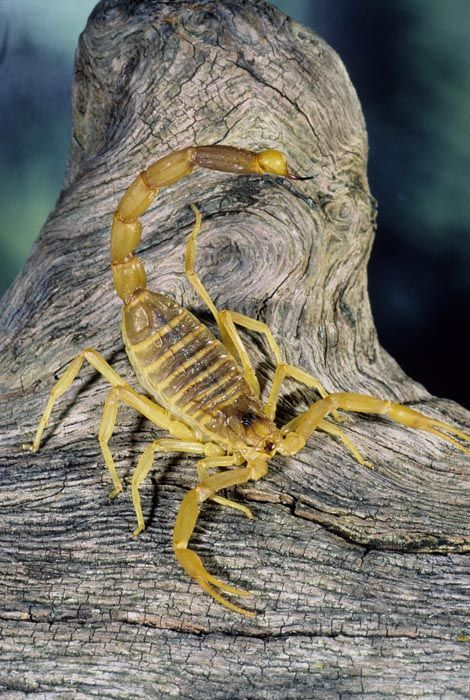 A Deathstalker Scorpion  (Leiurus quinquestriatus) The