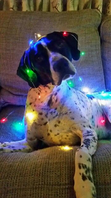 My English Pointer, Berkley. We used this photo for our 2014 Christmas Card. Dog wrapped in Christmas Lights. I used the small wire lights from Home Depot. They're battery operated and bendable.