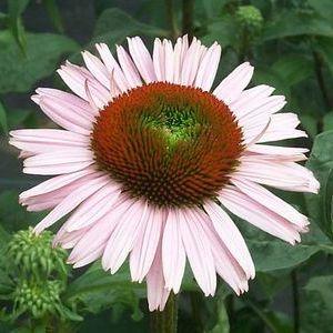 Echinacea Hope Buy Coneflower Perennials Online Perennials Full Sun Perennials Plants