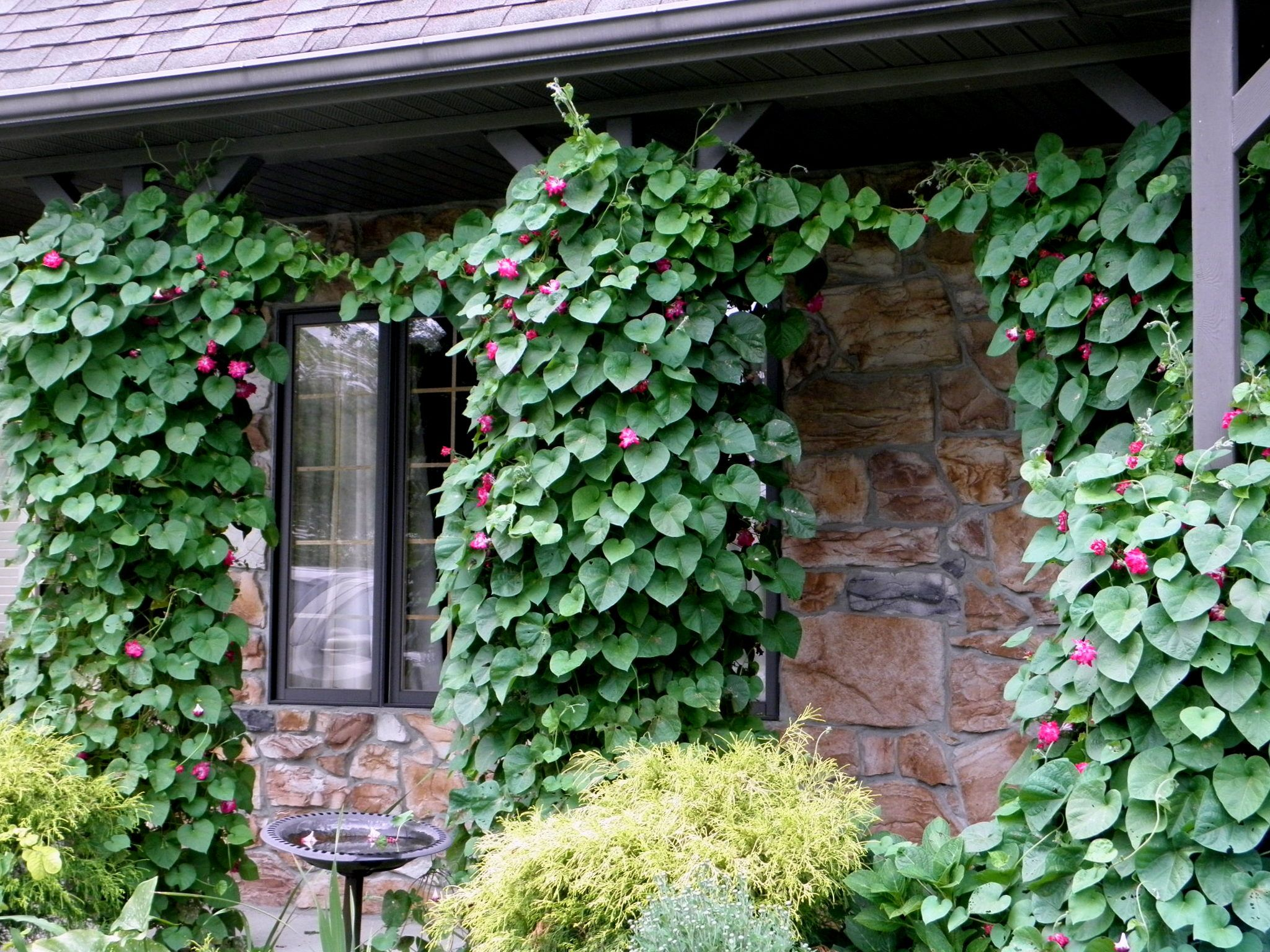 My morning glories were abundantly glorious!  Summer, 2012.  My plants did very well on East facing porch.  (photo by K Fuhs)