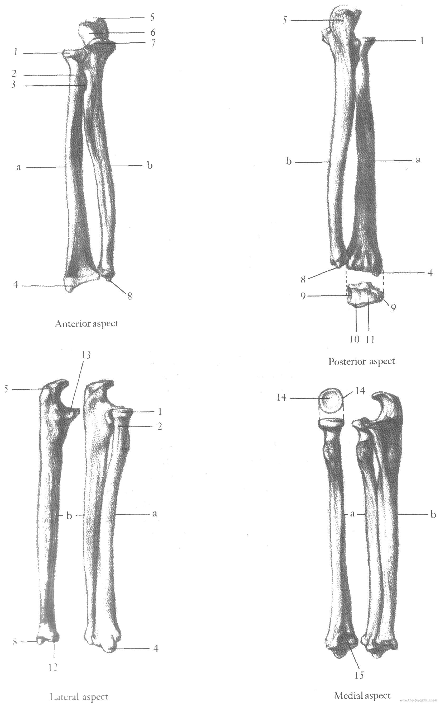 lower-arm-radius-ulna.png (1668×2670) | More tattoos | Pinterest ...