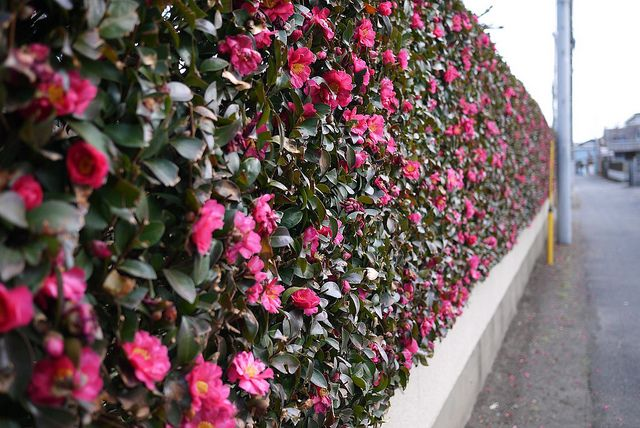 Camellia Hedges Hedges Outdoor Gardens Plants