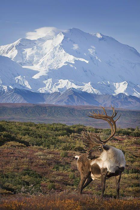 Denali Alaska Caribou 2 by Milo Burcham