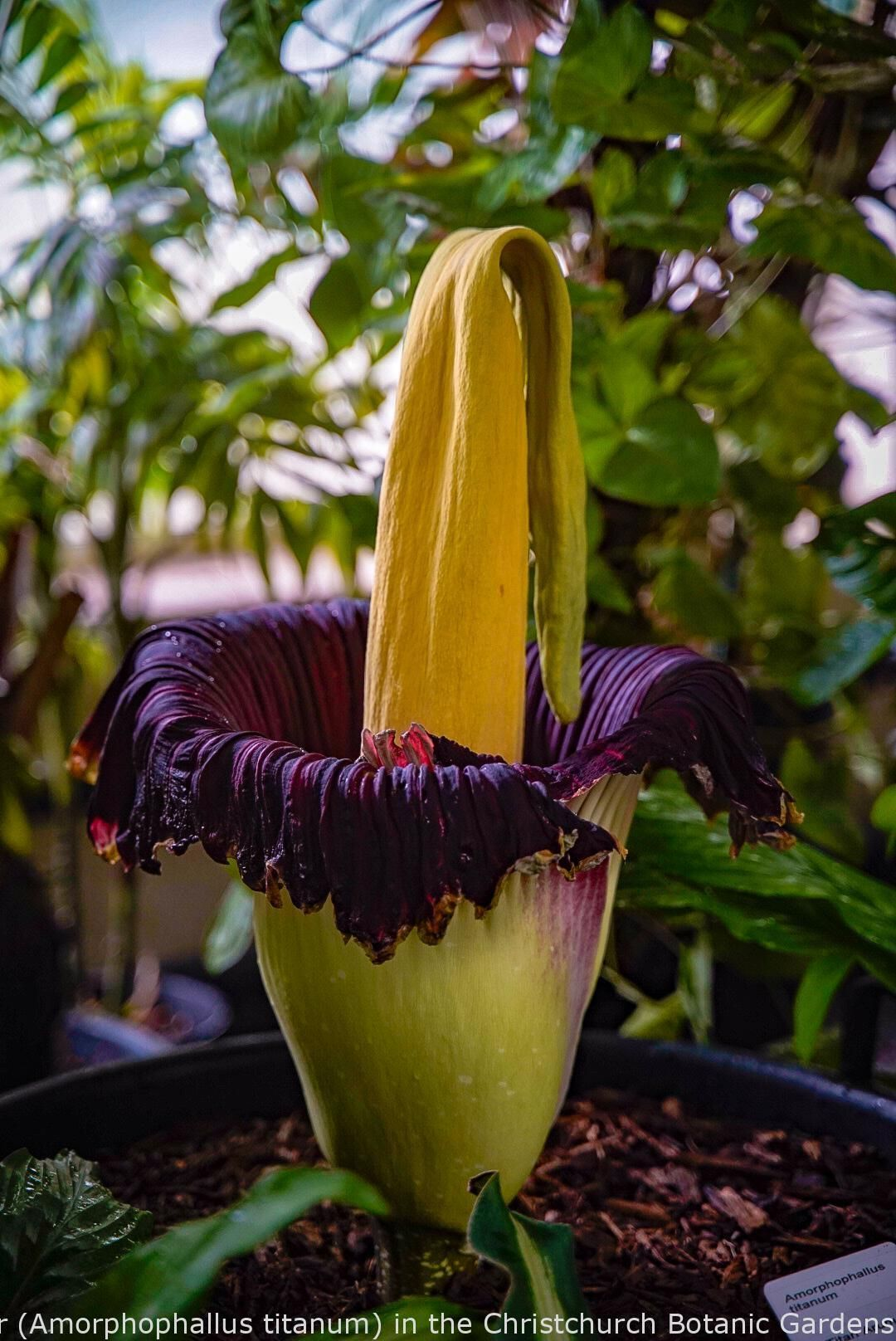 Gardening The Corpse Flower Amorphophallus Titanum In The Christchurch Botanic Gardens In 2020 Starting A Vegetable Garden Amorphophallus Titanum Corpse Flower