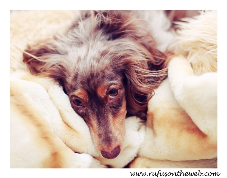 Love those eyes.  http://wp.me/p27Fw1-yW #dachshund #doxies