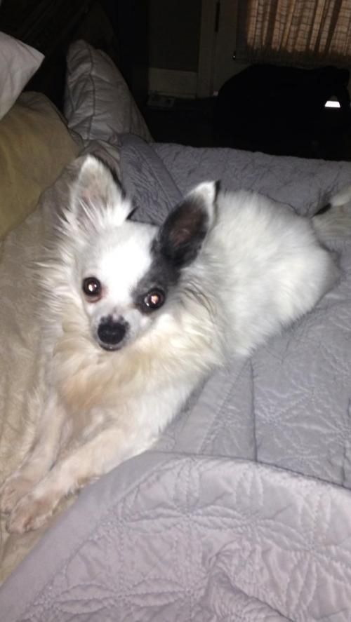 Adopt Emmitt On Just Chihuahuas Dogs Dogs Puppies Chihuahua