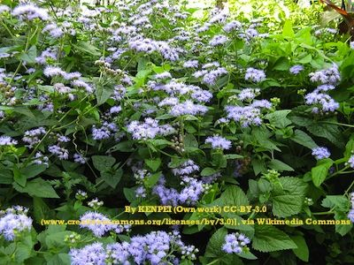 Hardy Ageratum plants covered in violetblue flowers Sun Garden
