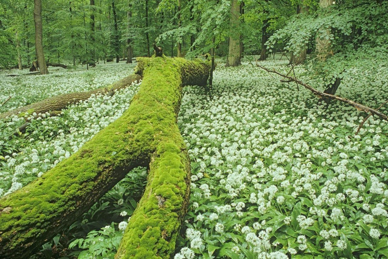 Bärlauchteppich im Nationalpark Hainich, Thüringen